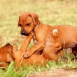 Playing Rhodesian Ridgeback puppies — Stock Photo #10069259