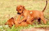 Playing Rhodesian Ridgeback puppies — Stock Photo