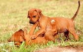 Playing Rhodesian Ridgeback puppies — Stock Photo