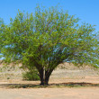 Mesquite tree (Prosopis pubescens) - Stock Photo