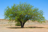 Mesquite tree (Prosopis pubescens) — Stock Photo