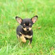 Stock Photo: Chihuahudog puppy