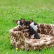 Chihuahudog puppies — Stock Photo #10526353