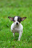 Chihuahua dog puppy — Stock Photo