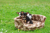 Chihuahua dog puppies — Stock Photo