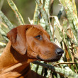 Royalty-Free Stock Photo: Rhodesian Ridgeback