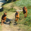 Dogs running together - Stock Photo