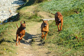 Dogs running together — Stock Photo