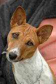 Basenji dog portrait — Stock Photo
