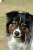 Australian Shepherd dog — Stock Photo