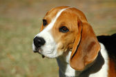 Beagle hound dog portrait — Stock Photo