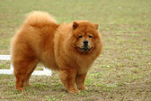 Chow Chow dog — Stock Photo