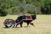 Carting Bernese Mountain dog — Stock Photo