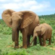 African Elephants — Stock Photo #9545658