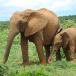 African Elephants — Stock Photo #9545770