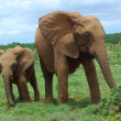 African Elephants — Stock Photo #9546682