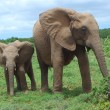 African Elephants — Stock Photo #9546930