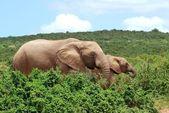 Afrikaanse olifanten grazen — Stockfoto