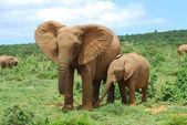 Słonie afrykańskie — Zdjęcie stockowe
