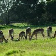 Stock Photo: Impala herd