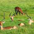 Impala herd — Stock Photo #9586696