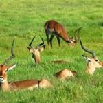 Impala herd — Stock Photo