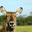 Постер, плакат: Waterbuck chewing