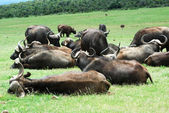 Buffalo herd — Stock Photo