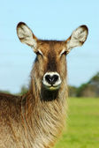 African Waterbuck — Stock Photo