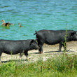 Stock Photo: Black pigs