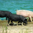 Pigs walking — Stock Photo