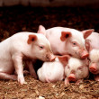 Stock Photo: Little piglets