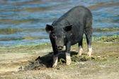Black pig — Stock Photo