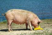 Feeding pig — Stock Photo