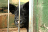 çit domuz — Stok fotoğraf