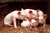 Little piglets — Stock Photo