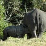 Постер, плакат: Rhino baby feeding