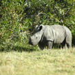 Постер, плакат: Rhino baby