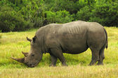 Rhino - Rhinoceros grazing in South Africa — Stock Photo