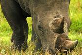 Rhino head closeup — Stock Photo