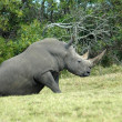 Stock Photo: Rhino sitting