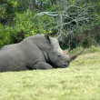 Rhino resting — Stock Photo