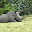 Rhino resting - Stock Photo