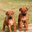 Cute little Rhodesian Ridgeback puppies — Stock Photo #9859867