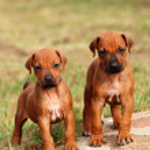 Cute little Rhodesian Ridgeback puppies — Stock Photo