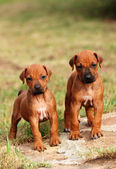 Cute little Rhodesian Ridgeback puppies — Stock Photo