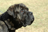 Bullmastiff dog head portrait — Stock Photo