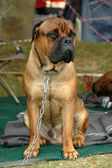 Bullmastiff dog on chain — Stock Photo