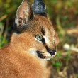 Caracal - African wild cat — Stock Photo