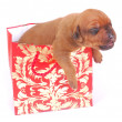 Puppy in gift bag — Stock Photo #9883608